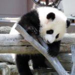 和歌山アドベンチャーワールドのパンダが「上野よりもスゴイ!」理由と、営業案内や料金表