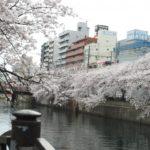 大岡川プロムナードの桜祭りやお桜クルーズと開花状況の情報やライブカメラについて