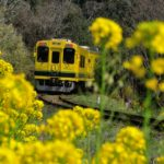 いすみ鉄道・ムーミン列車で楽しめる菜の花や桜の見頃と観光スポット、路線や時刻表について