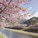 河津桜の開花予想や開花状況がチェックできるライブカメラと会場へのアクセス