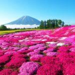 芝桜の名所や芝桜まつりと開花状況、そして自宅での楽しみ方
