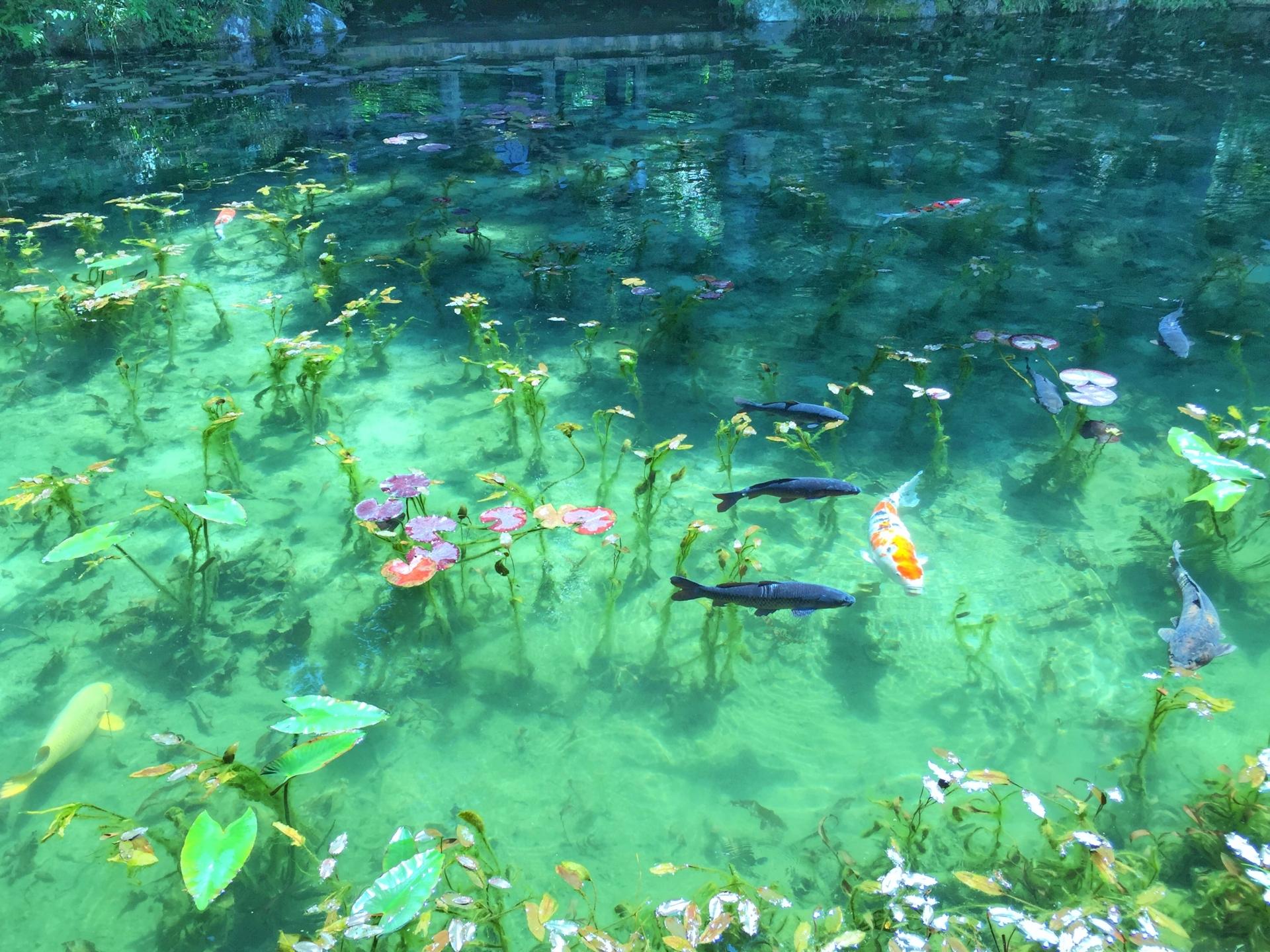 【絶景】モネの池の動画や写真、アクセスや駐車場・トイレや周辺観光の情報